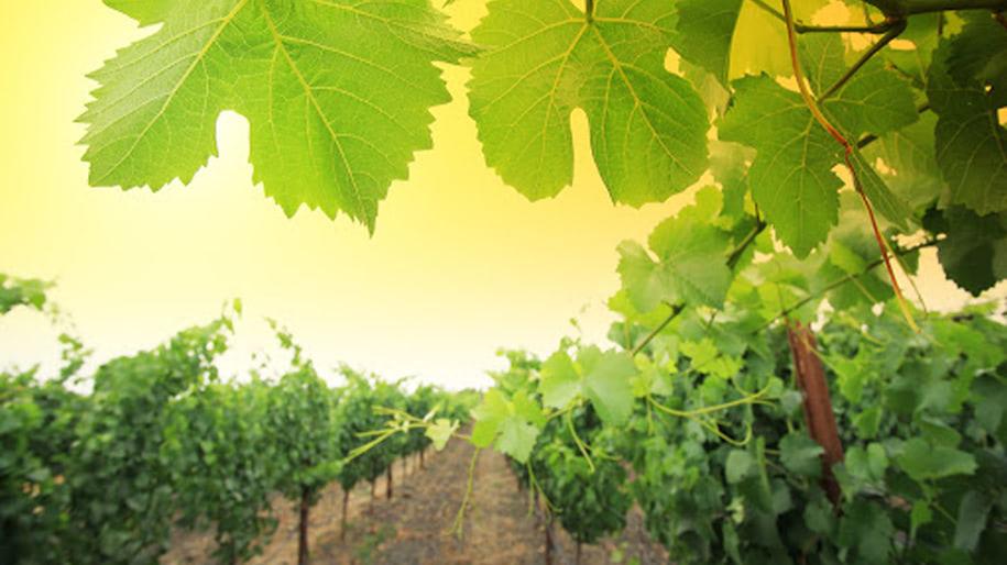 Các khu vực trồng nho nổi tiếng của Cognac