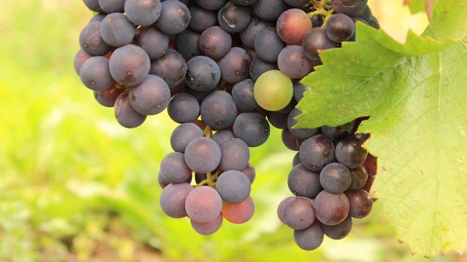 Rượu vang Rhône